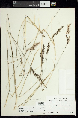 Image of Danthonia secundiflora