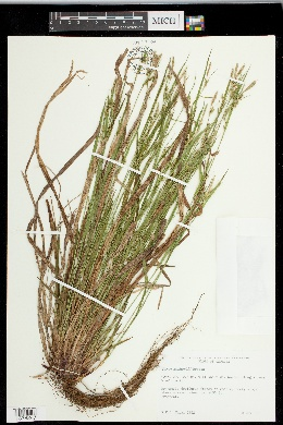 Carex manhartii image