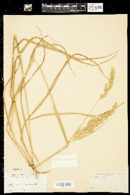 Image of Calamagrostis cinnoides