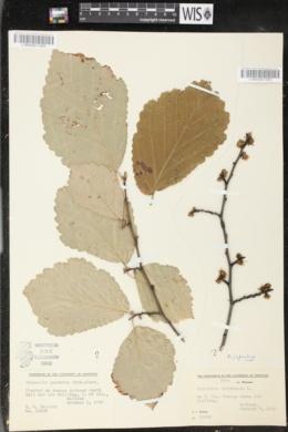 Image of Hamamelis japonica