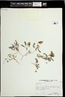 Astragalus alpinus image