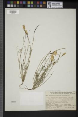 Eschscholzia hypecoides image