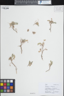 Image of Astragalus wetherillii