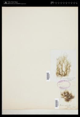 Derbesia marina image