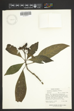 Image of Psychotria chiapensis