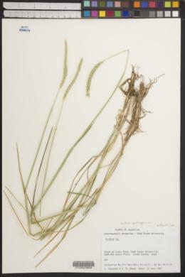 Image of Hordeum patagonicum