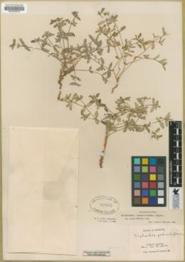 Euphorbia pediculifera image
