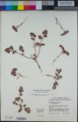 Chorizanthe obovata image