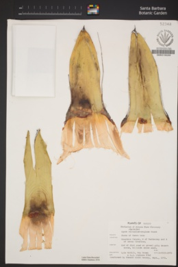 Agave victoriae-reginae image