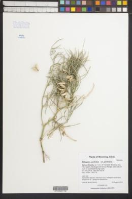Astragalus pectinatus image