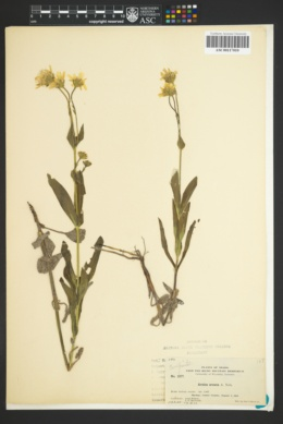 Image of Arnica gracilis