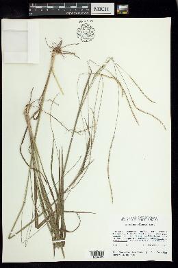 Image of Paspalum pilosum