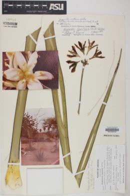 Hesperaloe funifera subsp. chiangii image