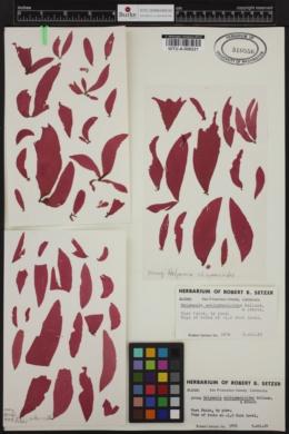 Halymenia schizymenioides image