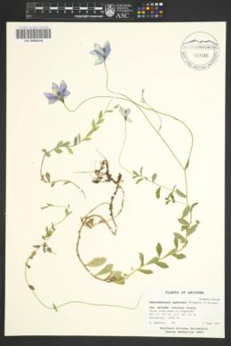 Image of Wahlenbergia undulata