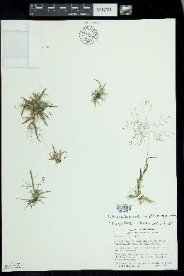 Panicum tuckermanii image