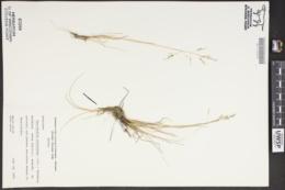 Puccinellia distans subsp. distans image