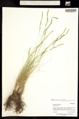 Festuca trachyphylla image