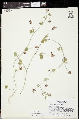 Trifolium breweri image