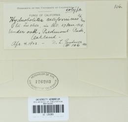 Image of Hydnobolites californicus