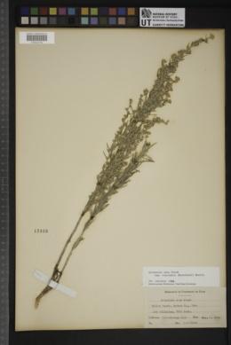 Artemisia cana subsp. viscidula image