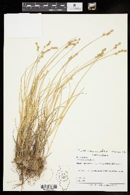 Image of Carex albolutescens