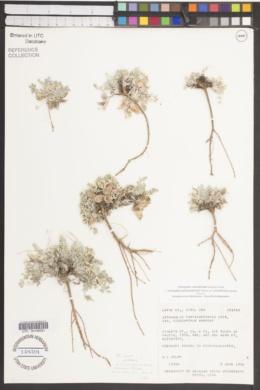 Image of Astragalus consobrinus