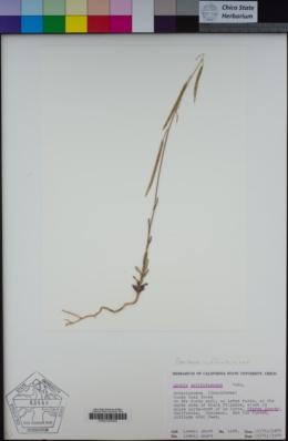 Boechera suffrutescens image