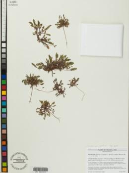 Phacelia lutea image