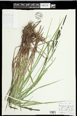 Image of Carex interrupta