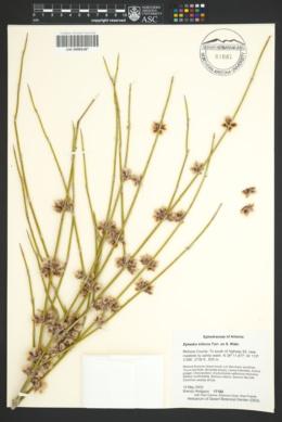 Ephedra trifurca image