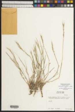 Image of Campeiostachys humidora