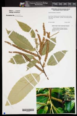 Image of Castanea dentata x castanea mollissima