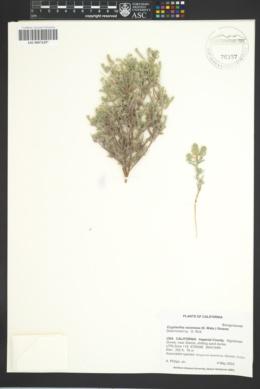 Cryptantha racemosa image