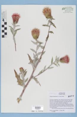 Cirsium arizonicum image