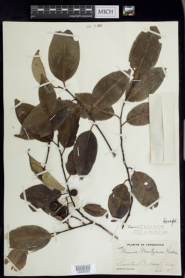 Image of Prunus moritziana