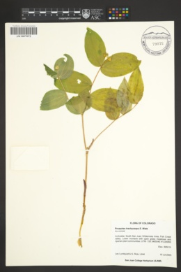 Image of Prosartes trachyandra