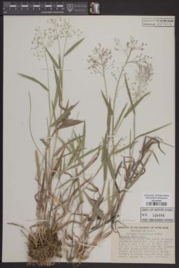 Image of Panicum ovale
