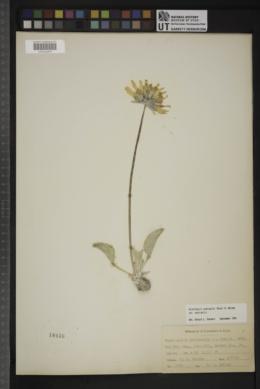 Enceliopsis nudicaulis var. nudicaulis image