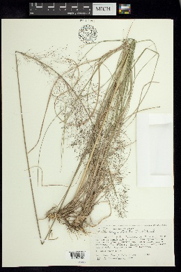 Image of Muhlenbergia stricta