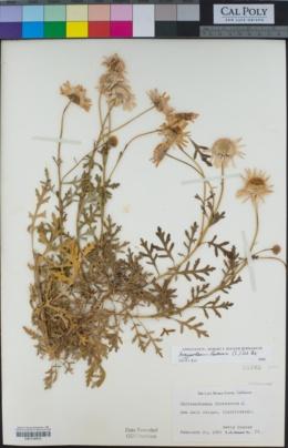Argyranthemum frutescens image