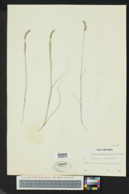 Bouteloua gracilis image