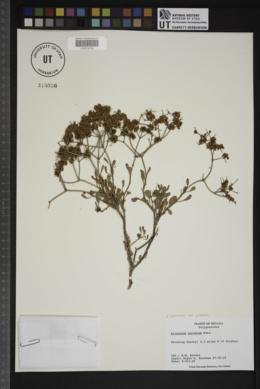Eriogonum heermannii var. sulcatum image