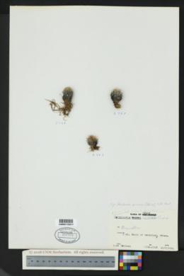 Image of Escobaria minima