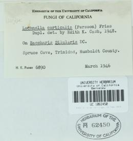 Image of Lasiobelonium parksii