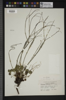Eriogonum inflatum var. inflatum image
