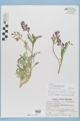 Astragalus wootoni image