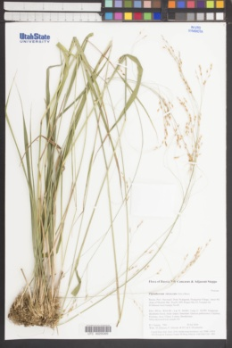 Piptatherum virescens image