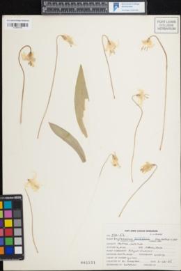 Erythronium grandiflorum subsp. chrysandrum image