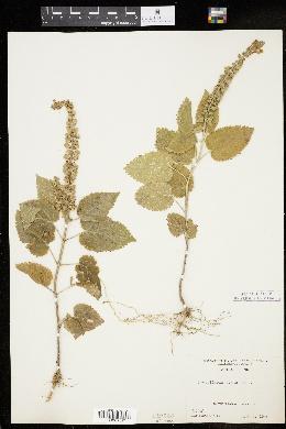 Image of Scutellaria ovata